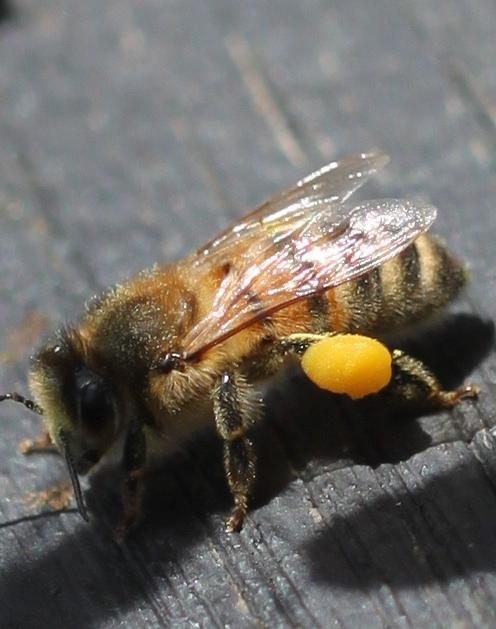 Selv om det er kaldt om dagen nå, så klekker det bier. Har begynt å dele opp 2 delinger og kommer til å fortsette med det idag.